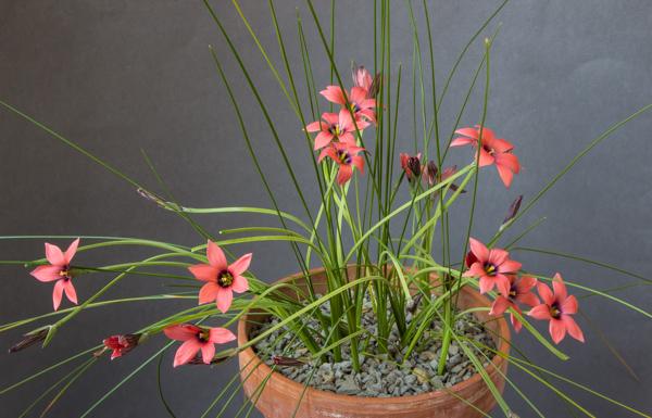 Romulea obscura subsp. subtestacea (Exhibitor: Bob & Rannveig Wallis)