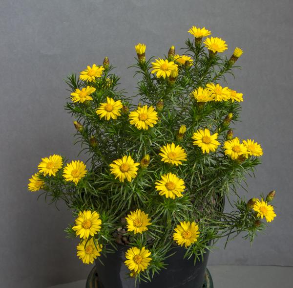Rosenia humilis (Exhibitor: George Elder)
