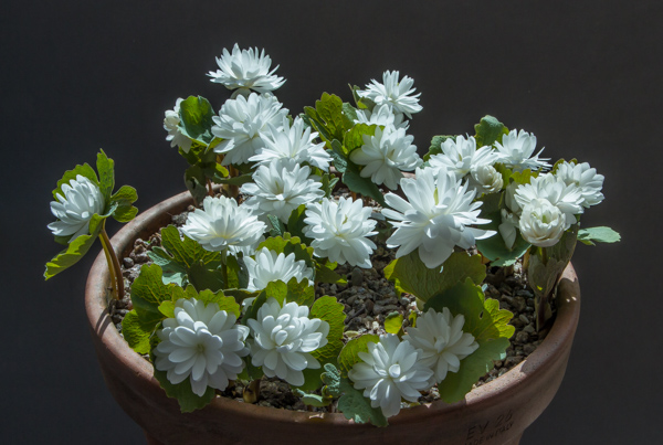 Sanguinaria canadensis flore pleno (Exhibitor: Ron & Hilary Price)