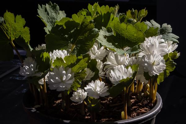 Sanguinaria canadensis 'Multiplex' (Exhibitor: Anne Vale)