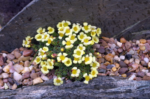 Saxifraga 'Allendale Bonny' in north wales garden