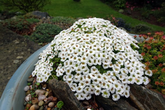 Saxifraga 'Allendale Hobbit' in north wales garden