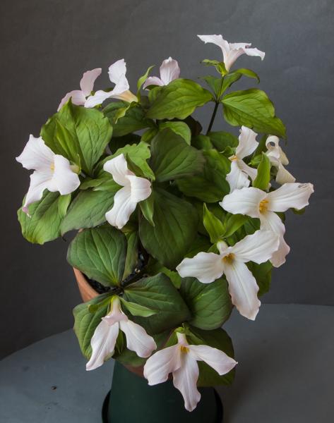 Trillium grandiflorum f. roseum (Exhibitor: Bob & Rannveig Wallis)