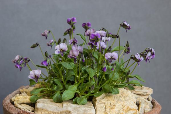Viola pachyrhiza (Exhibitor: Paul & Gill Ranson)