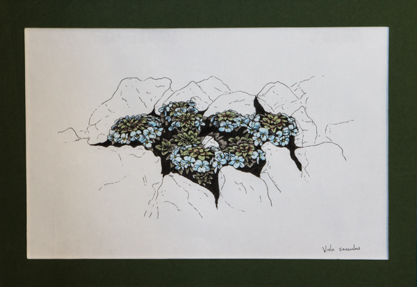 Viola sacculus (Exhibitor: Gemma Hayes) botanical art