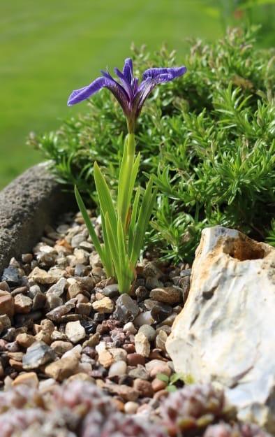 alpine iris