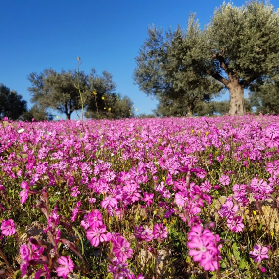 Fields of Silene colorata in Greece.