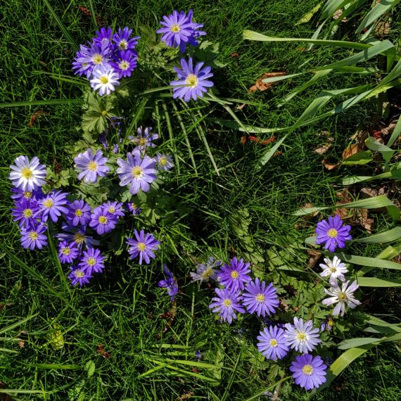 Anemones in a lawn