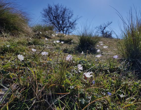 Anemones in a mountain meadow in Greece