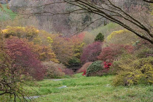 Maple trees, The Garden House, Devon
