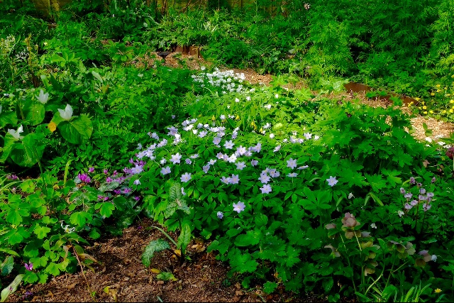 Anemones growing under birch trees in the garden.