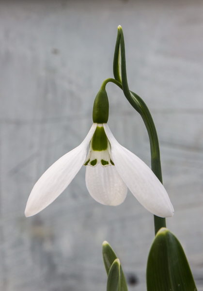 Galanthus 'Daglingworth'