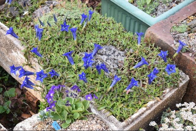 Gentiana angustifolia troughs