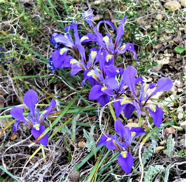 Iris unguiculari