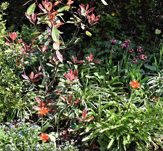 Photinia with T. praestans and purple tulip.
