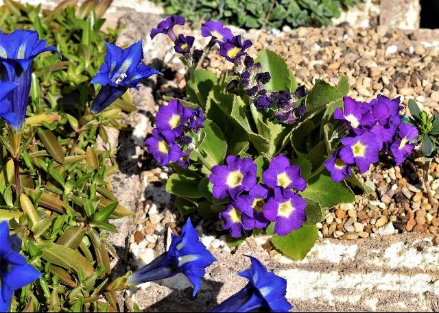 Primula 'Waverley' seedlings