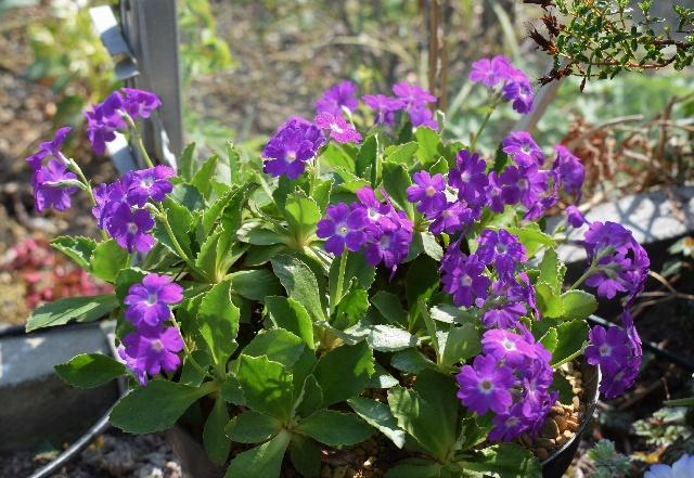 Primula Waverly 'Ivanhoe'