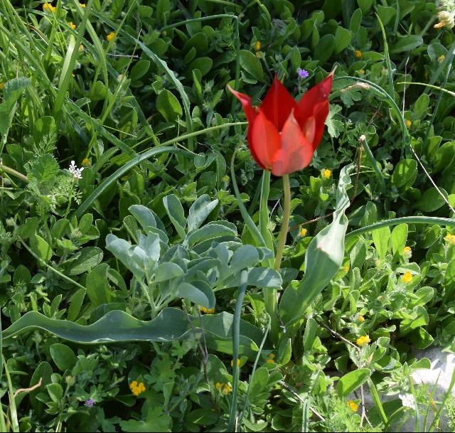 Tulipa and Leontice