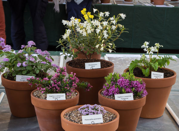 Small six rock plants (Exhibitor: Anne Vale)