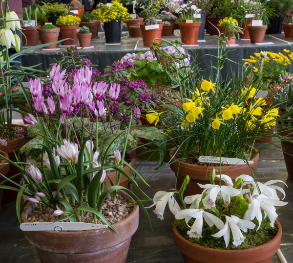Small six pan of rock plants (Exhibitor: Ian Robertson)