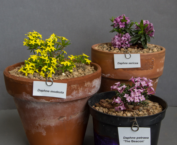 Small three pans of Daphne (Exhibitor: Martin & Anna Sheader)