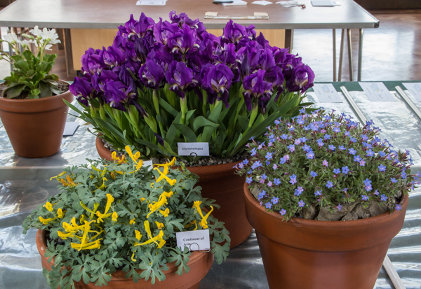 Three rock plants from a single continent (Exhibitor: Lee & Julie Martin)