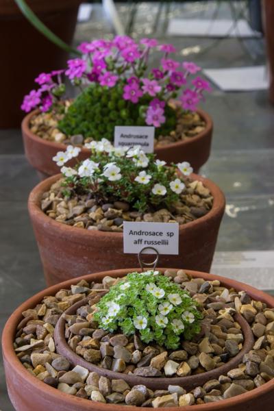 Three plants new or rare (Exhibitor: Paul & Gill Ranson)
