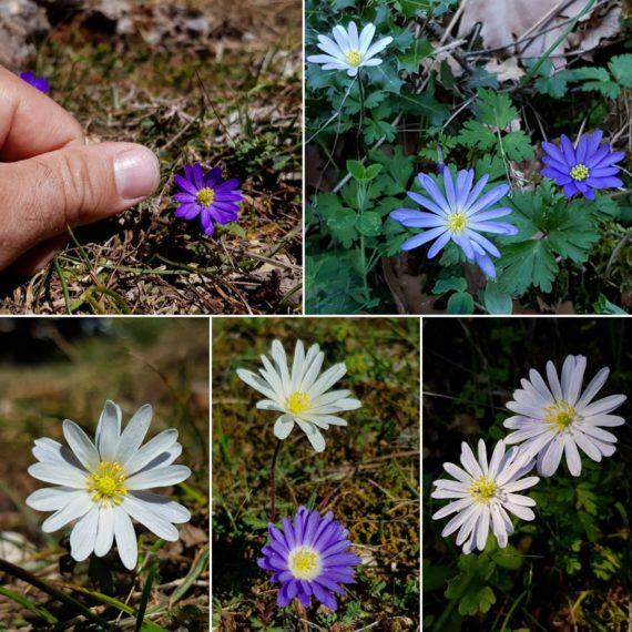 Various anemones in Greece