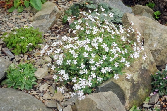 Silene glaucophyllum'Album'