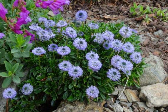G. meridionalis'Blue Bonnets'