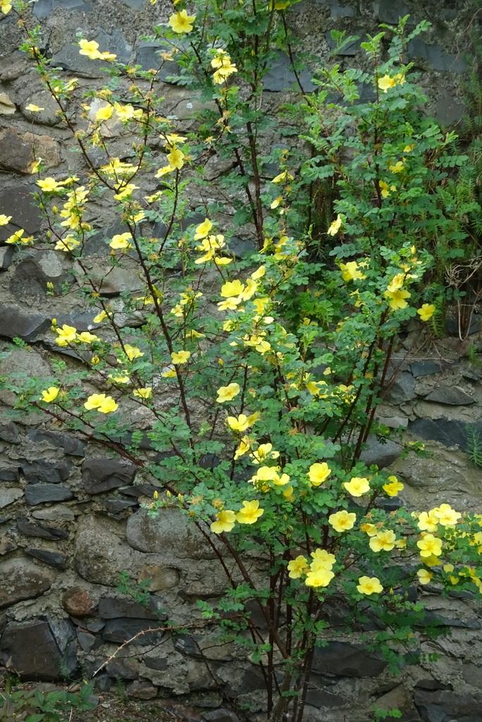 R. 'Golden Chersonese'