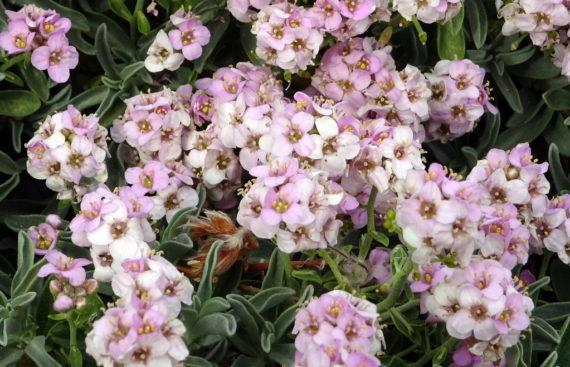 Ptilotrichum spinosum'Roseum'