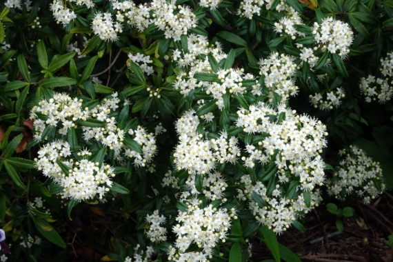 Acradenia frankliniae (Rutaceae)