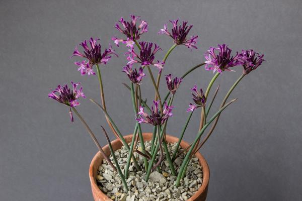Allium abramsii (Exhibitor: Bob & Rannveig Wallis)