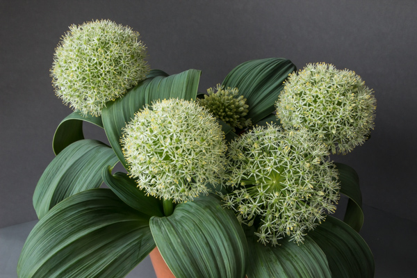 Allium karataviense 'Ivory Queen' (Exhibitor: Andrew Ward)