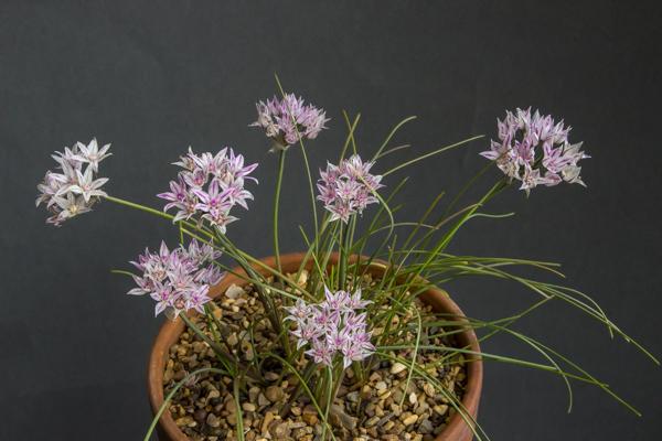 Allium macropetalum (Exhibitor: Neil Hubbard)