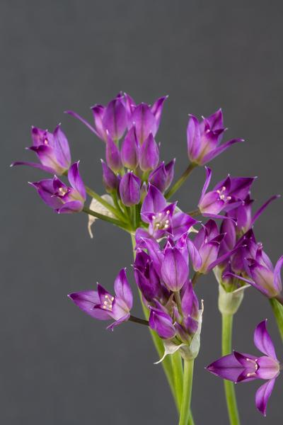 Allium peninsulare (Exhibitor: Neil Hubbard)