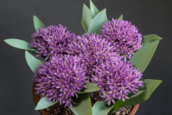 Allium shelkovnikovii 'Sarejn' (Exhibitor: Robert Rolfe)