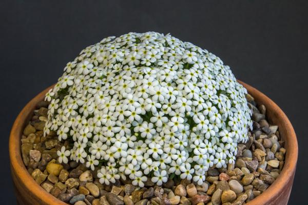 Androsace cylindrica x. hirtella (Exhibitor: Clare Oates)