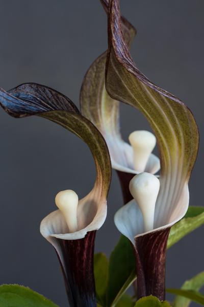 Arisaema sikokianum (Exhibitor: Diane Clement)