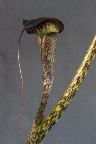 Arisaema taiwanense f. cinereum BSWJ3602 (Exhibitor: Maurice Bacon)