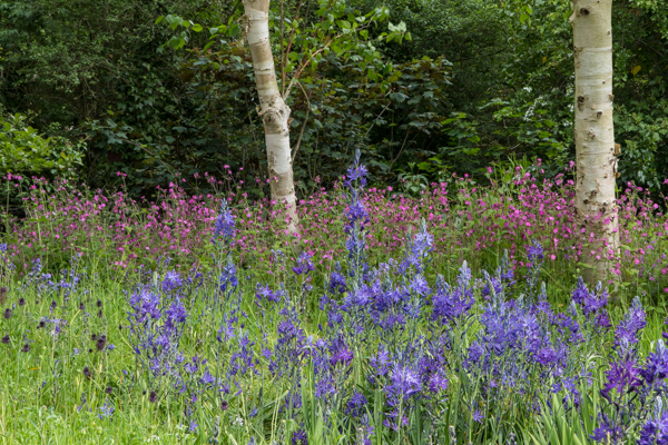 Camassia leichtlinii and Red Campion