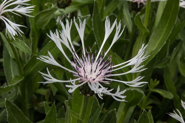 Centaurea 'Lady Flora Hastings'