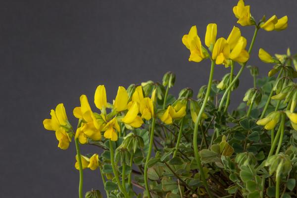 Coronilla orientalis (Exhibitor: Dot Sample)