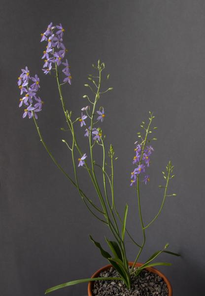 Cyanella hyacinthoides (Exhibitor: George Elder)