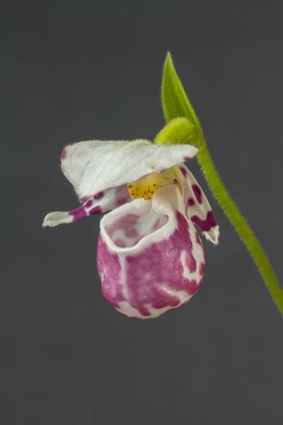 Cypripedium guttatum (Exhibitor: Diane Clement)