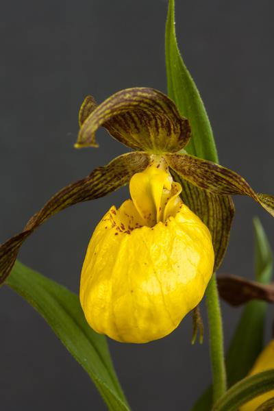 Cypripedium parviflorum var. pubescens (Exhibitor: Diane Clement)