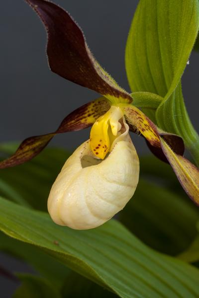 Cypripedium parviflorum x. farreri (Exhibitor: Diane Clement)