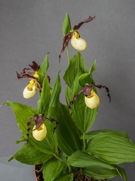 Cypripedium parviflorum x. tibeticum (Exhibitor: Diane Clement)