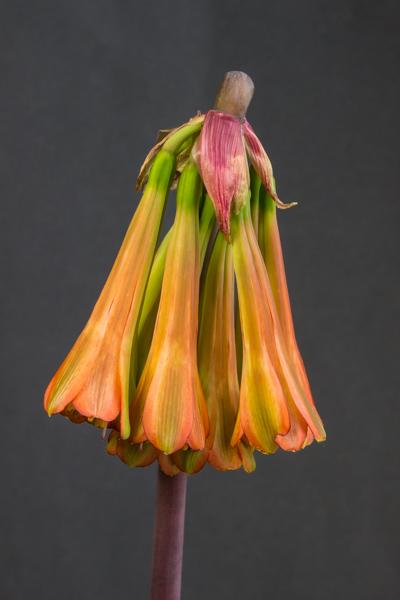 Cyrtanthus falcatus (Exhibitor: Jon Evans)